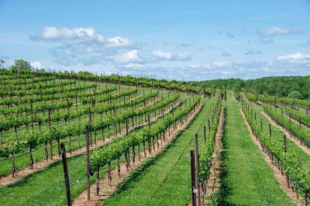 Vignes de de région Aquitaine